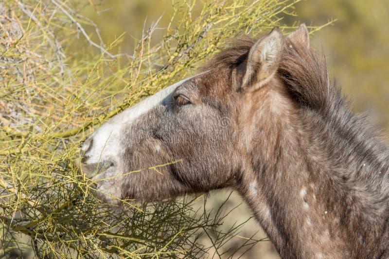 Porträt eines wildes Pferdeessens stockfotos