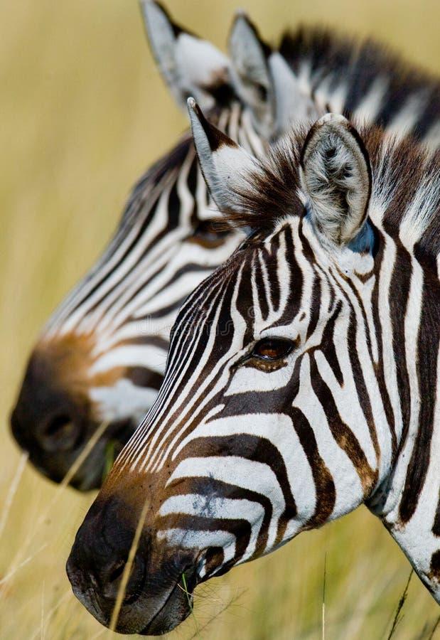 Porträt eines Zebras Nahaufnahme kenia tanzania Chiang Mai serengeti Maasai Mara lizenzfreie stockfotografie