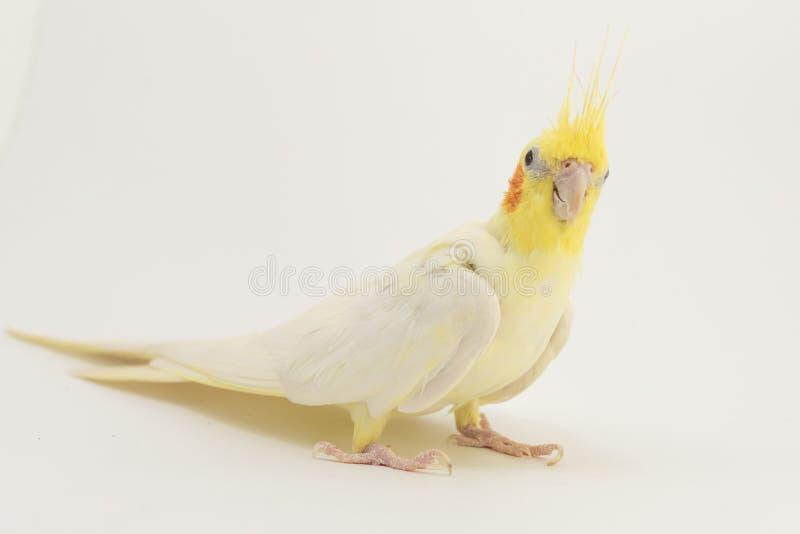 Porträt gelb-weißen Corella-lutino, auf einem weißen Hintergrund lizenzfreies stockfoto
