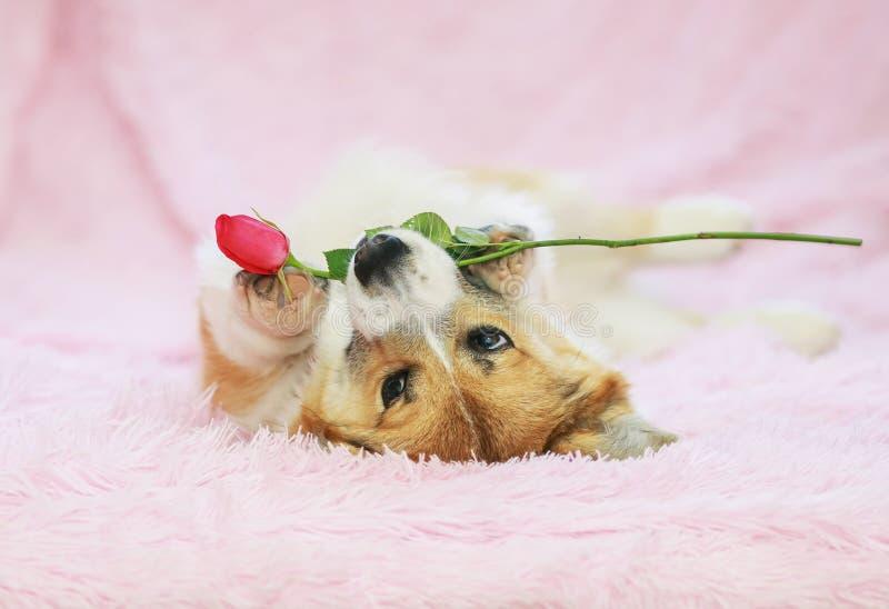 Porträt netten Hundewelpe Corgi, der auf flaumigem rosa Plaid mit festlicher rosafarbener Blume in den Zähnen liegt stockfotos