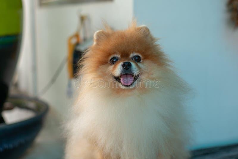 Porträt netter Pomeranian-Hund, der die Kamera mit Zunge O betrachtet lizenzfreies stockfoto