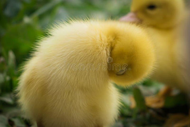 Porträt nettes kleines gelbes Baby der flaumigen Muscovy-Entleinreinigung selbst lizenzfreies stockfoto