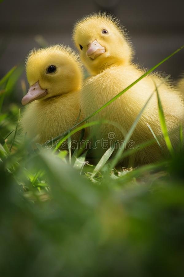 Porträt nettes kleines gelbes Baby zwei des flaumigen Muscovy-Entleinabschlusses oben lizenzfreies stockfoto