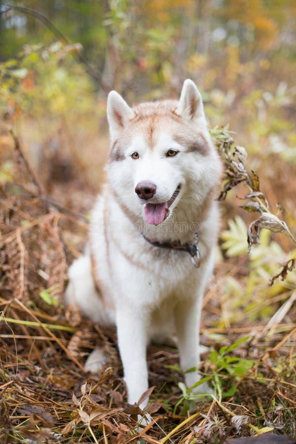 Porträt reizenden beige und weißen Hunderasse sibirischen Huskys, der in der Herbstsaison auf einem brightful Waldhintergrund sit stockbild
