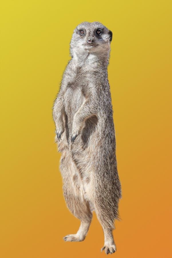 Porträt spielerischen und neugierigen suricate meerkat lokalisiert am bunten Steigungshintergrund stockfoto