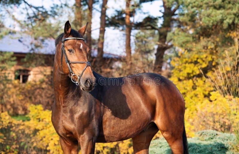 Porträt sportives warmblood Pferd, das im netten Platz aufwirft lizenzfreies stockbild