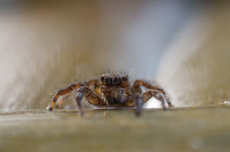 Porträt-springende Spinne lizenzfreie stockbilder