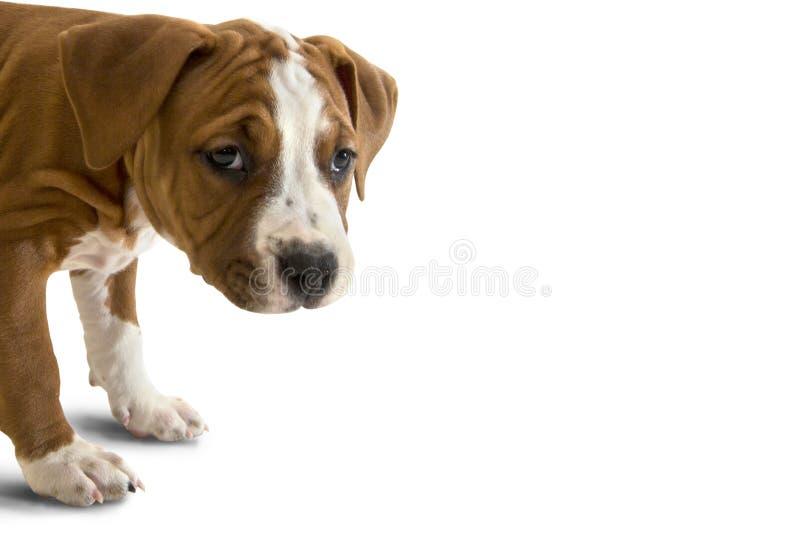 Porträt traurigen Welpe American Staffordshire Terriers, Nahaufnahme, Seitenansicht, die Kamera betrachtend, lokalisiert auf weiß lizenzfreie stockfotos