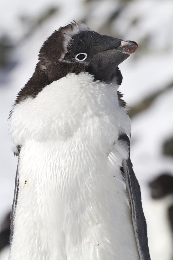 Porträt von Adele-Pinguin, der mausern soll stockfoto