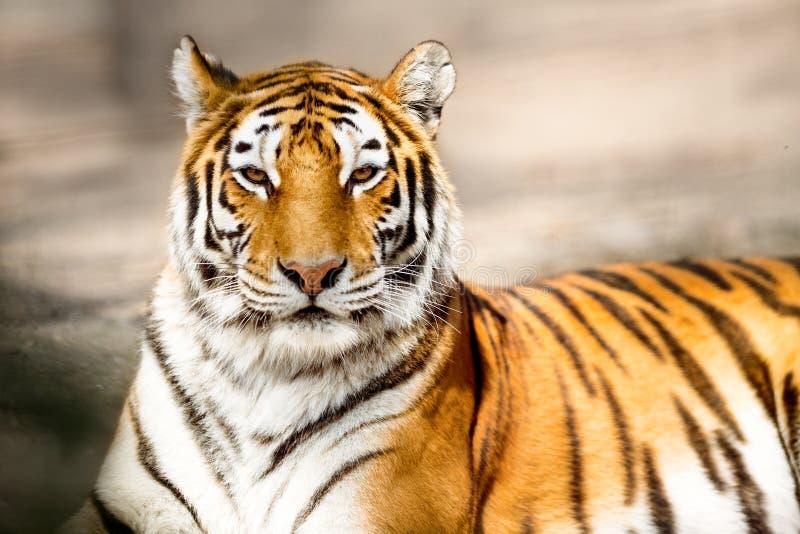 Porträt von Amur-Tiger stockfoto