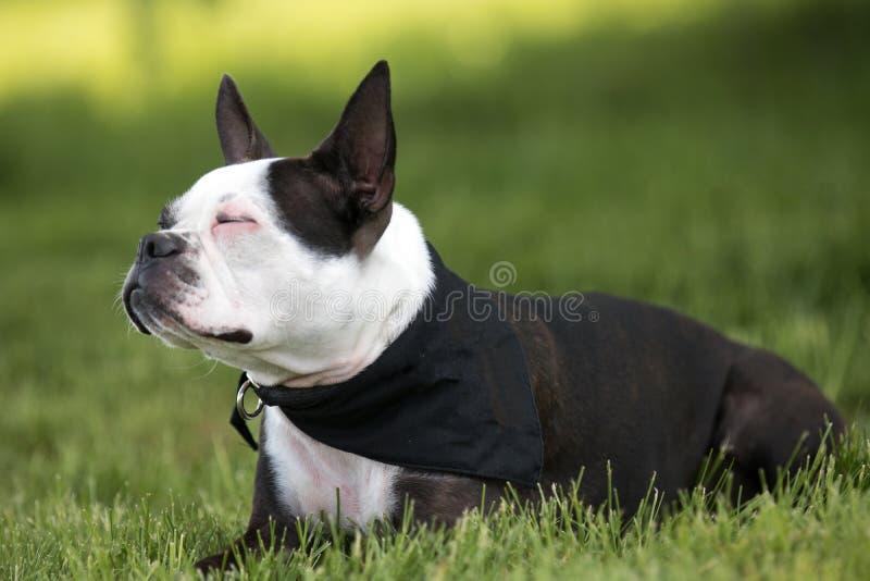 Porträt von Boston Terrier stockfoto