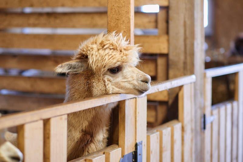 Porträt von braunen Alpakas auf dem Bauernhof stockbild