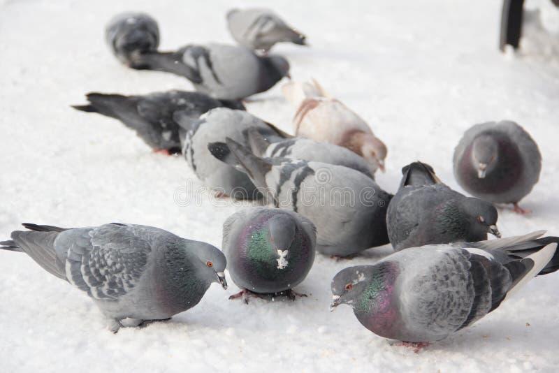 Porträt von den Vogeltauben, die oben Korn im Schnee im Winter im Straßenabschluß picken stockfoto