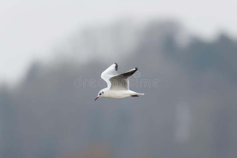 Porträt von einem fliegenden natürlichen gemeinen Lachmöwe Larus stockfotos