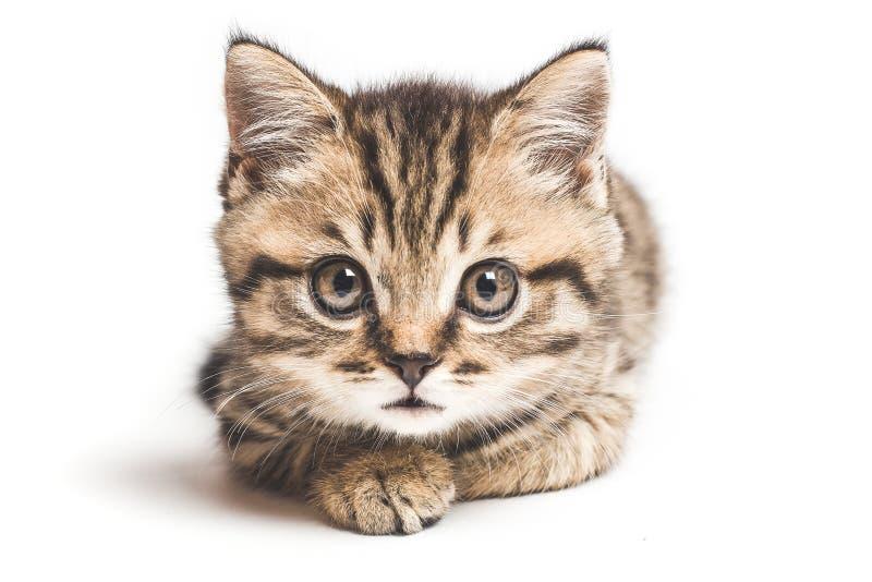 Porträt von einem schottischen geraden der Ruhe und der aufmerksamen Katze, Nahaufnahme, auf einem weißen Hintergrund lizenzfreie stockfotos