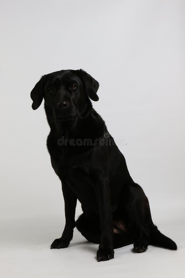 Porträt von einem schwarzen Labrador im weißen Studio lizenzfreie stockbilder