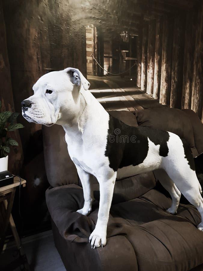 Porträt von einer alten englisch Bulldogge lizenzfreies stockbild