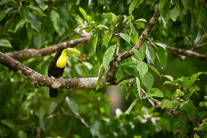 Porträt von Fischertukan Ramphastus-sulfuratus hockte auf Niederlassung an der tropischen Reserve In Costa Rica lizenzfreies stockbild