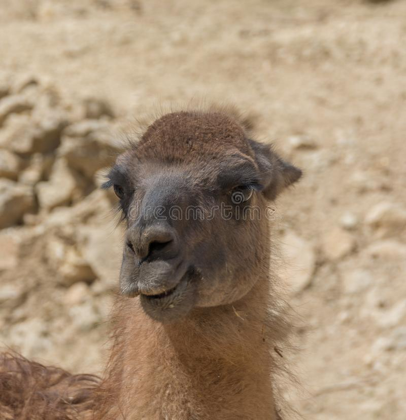 Porträt von Guanaco, Lama guanicoe lizenzfreies stockfoto
