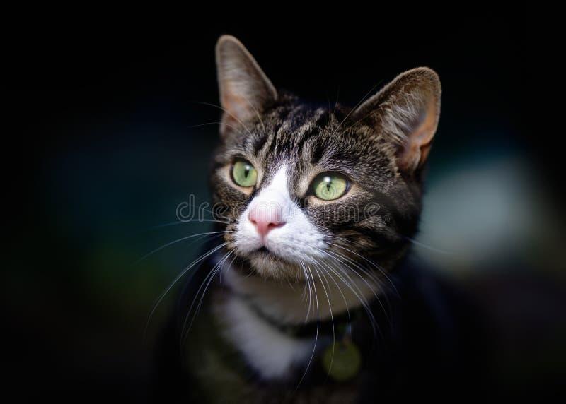 Porträt von hübscher junger Tabby Cat lizenzfreies stockfoto
