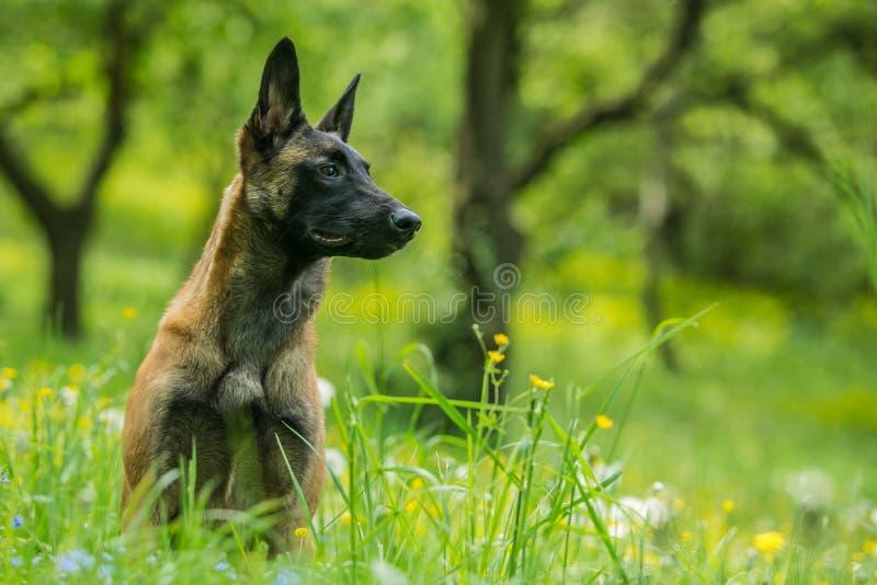 Porträt von jungen malinois, belgischer Schäferhund lizenzfreie stockfotos