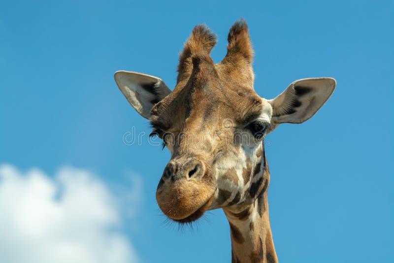 Porträt von lustigen schauenden Kopf und Hals des Giraffentieres nur clos lizenzfreie stockfotos