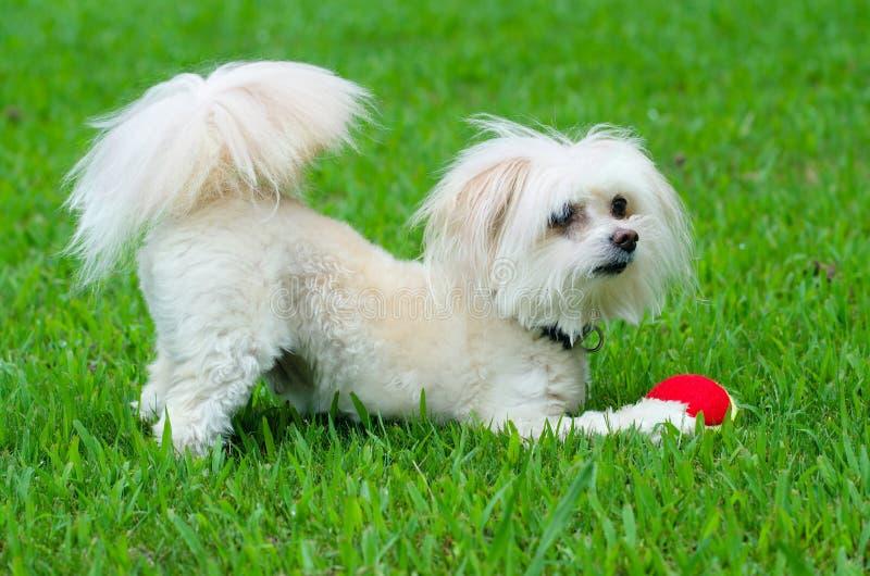 Porträt von maltipoo Hund spielend mit Ball stockbild