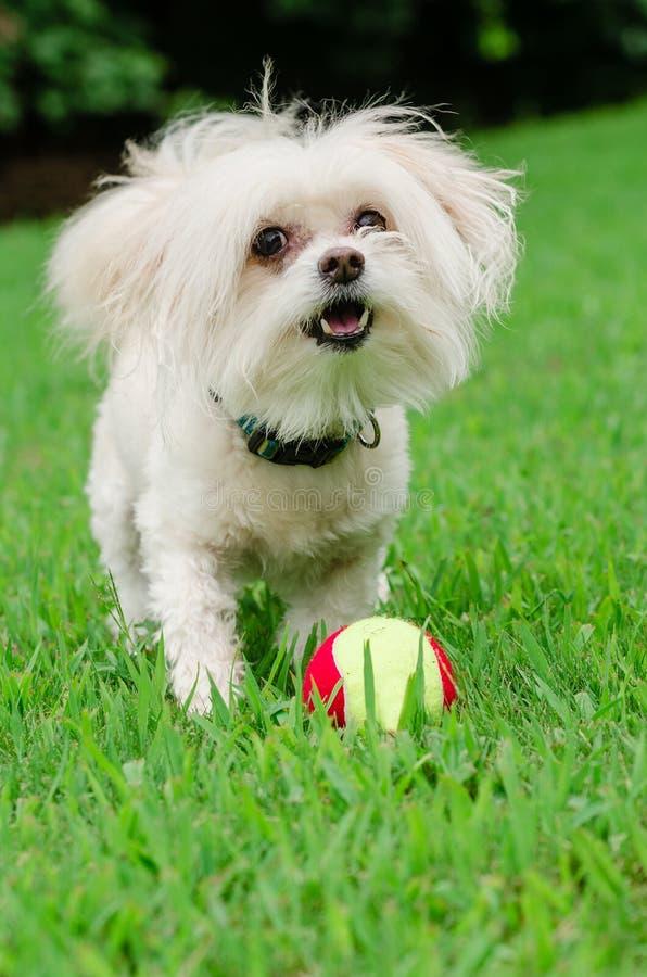 Porträt von maltipoo Hund spielend mit Ball lizenzfreie stockfotografie