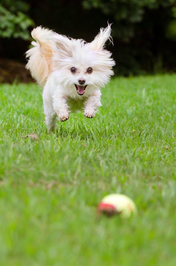 Porträt von maltipoo Hund spielend mit Ball stockbilder