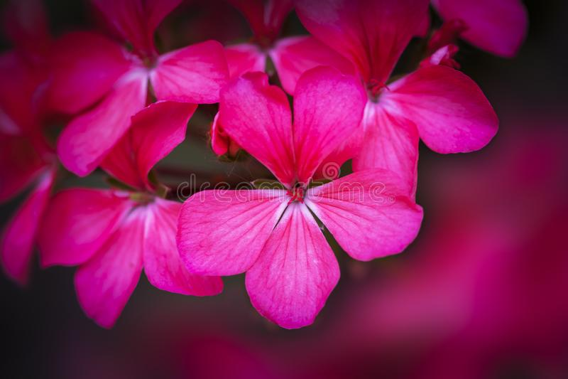 Porträt von rosa Pelargonien-Blumen stockfotos