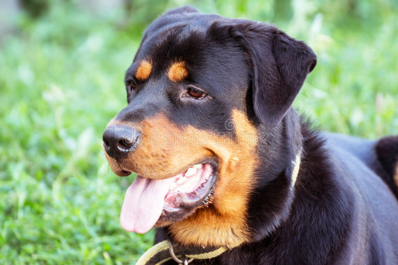 Porträt von Rottweiler lizenzfreies stockbild
