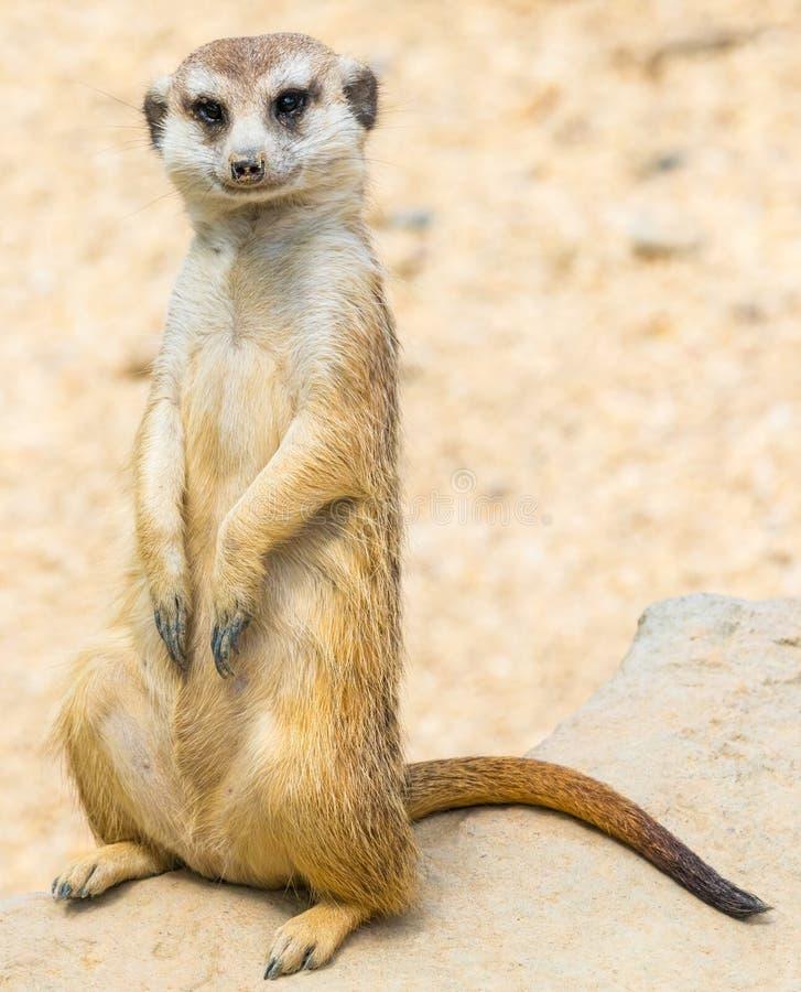 Porträt von suricate in der Natur stockfotografie