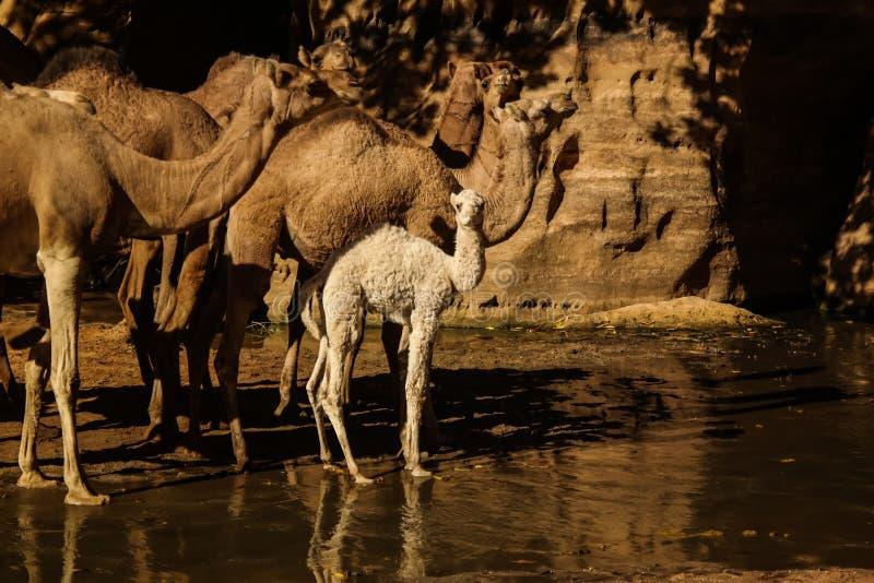 Porträt von trinkenden Kamelen in Schlucht alias guelta Bashikele, Ost-Ennedi, Tschad lizenzfreie stockbilder