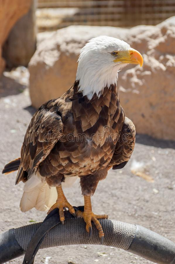 Porträt von Weißkopfseeadler Haliaeetus leucocephalus stockfoto