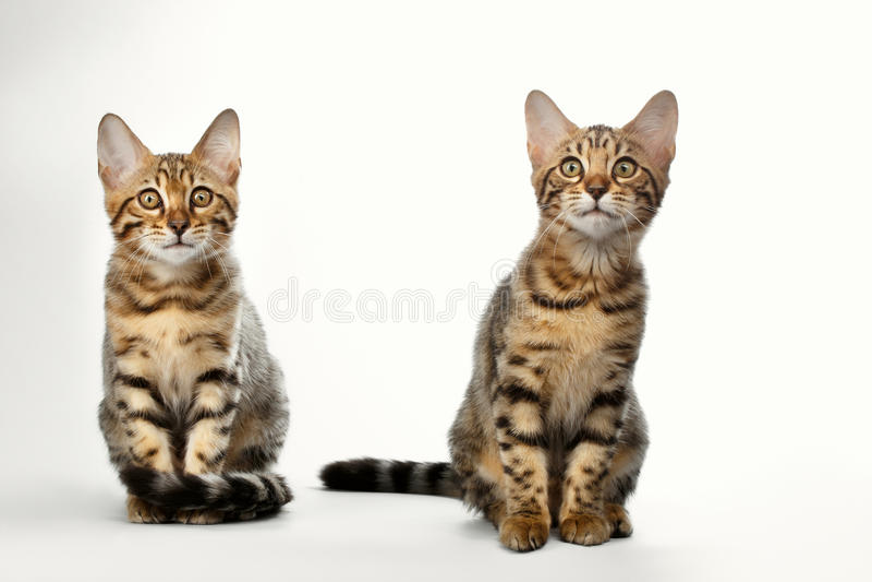 Porträt von zwei Bengal Kitten Sitting auf weißem Hintergrund lizenzfreies stockfoto