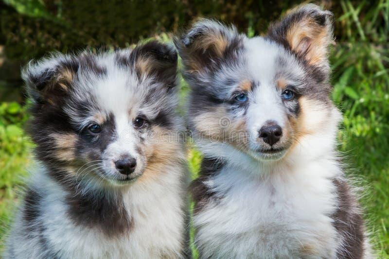 Porträt von zwei youg sheltie Hunden stockfoto