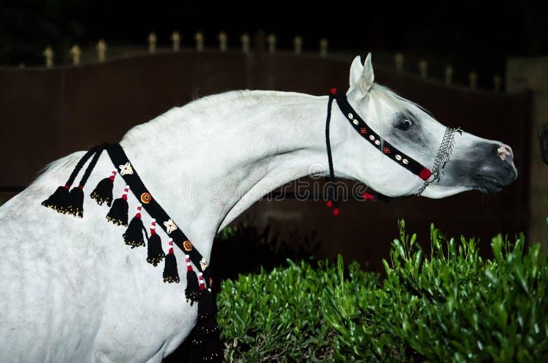 Porträt weißes reinrassiges egyption arabischen Hengstes nachts lizenzfreies stockbild