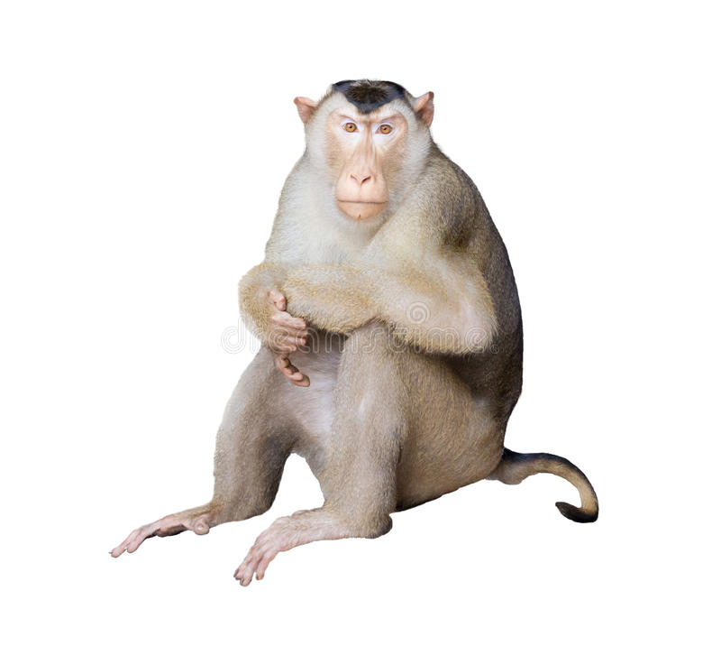 Porträtaffe auf lokalisiertem Hintergrund (Schwein-angebundener Makaken) stockbild