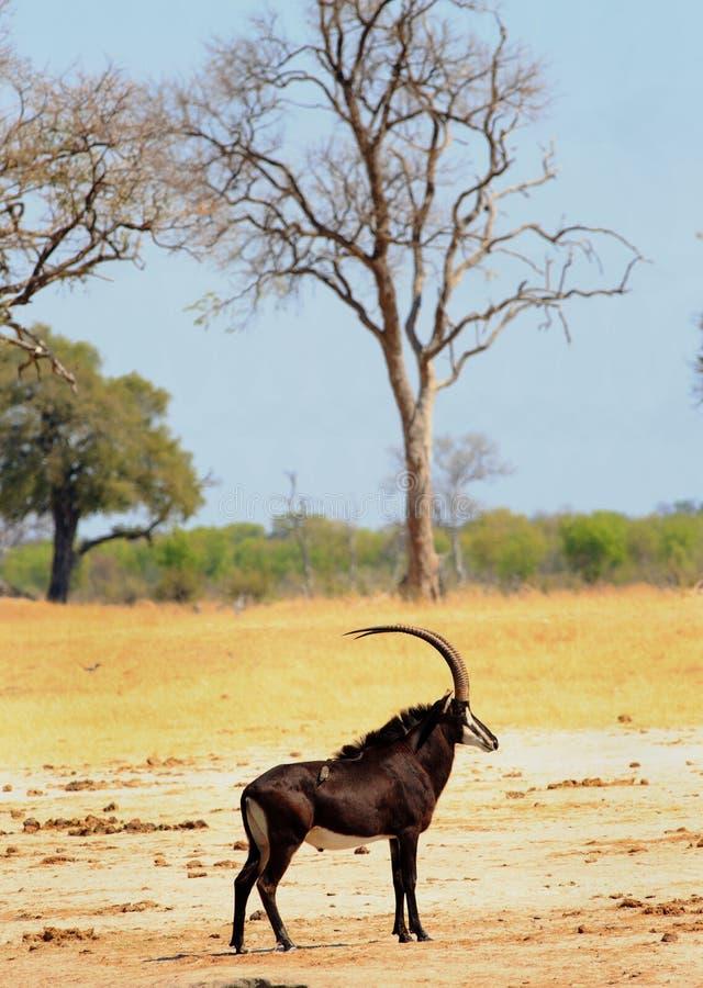 Porträtansicht einer schönen Zobel-Antilope, die vor einem bloßen Baum mit einem hellblauen Himmelhintergrund in Hwange Na steht stockfoto