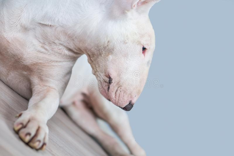 Porträtfoto des Bullterrierhundes mit leerem blauem Raum lizenzfreie stockfotos