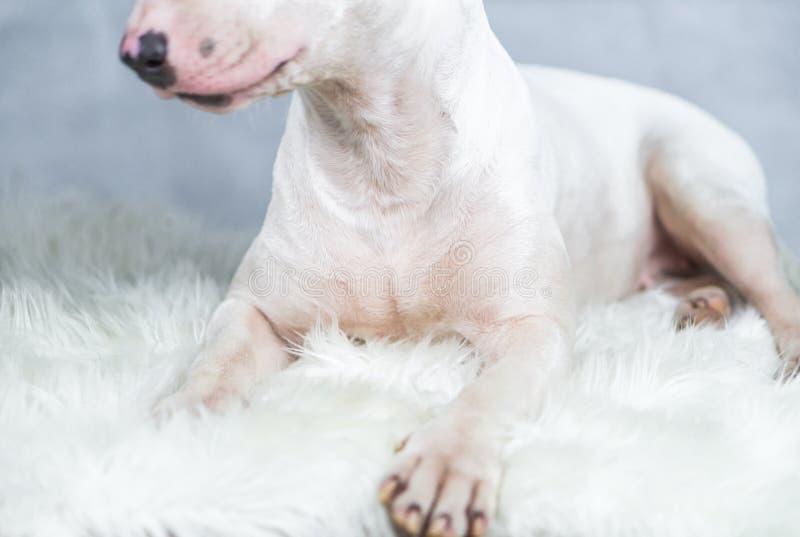 Porträtfoto des Bullterrierhundes mit leerem blauem Raum stockfotografie