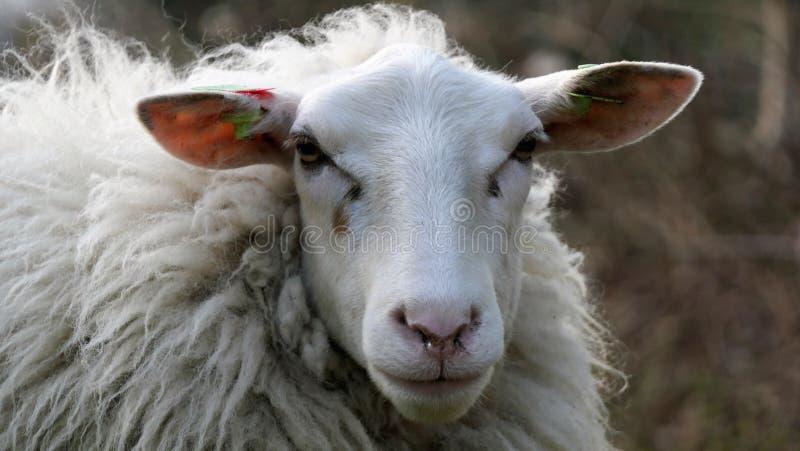 Porträtstirnseite der weißen Schafe lizenzfreie stockfotografie