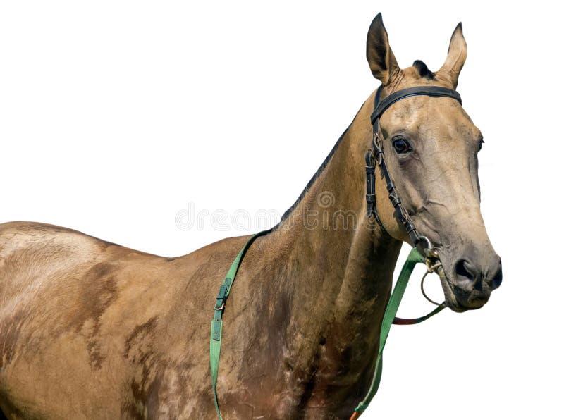 Porträtt av akhal-teke häst royaltyfri bild