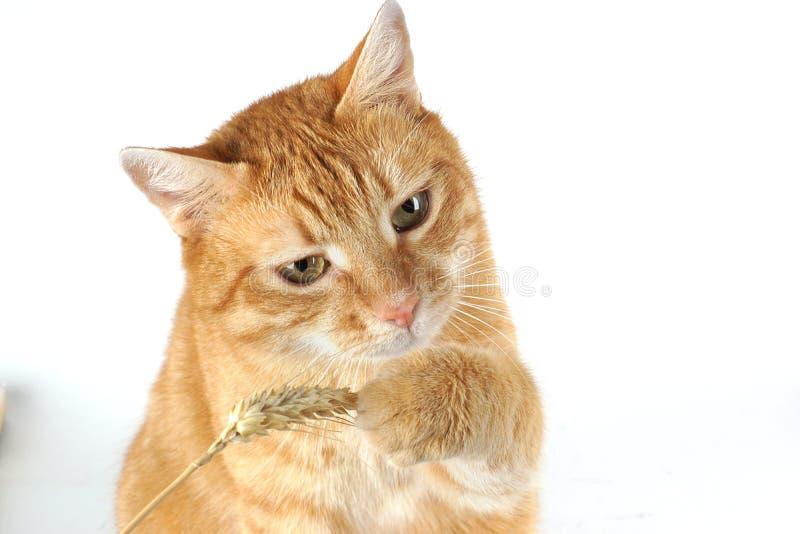 Porträtt av en röd katt som leker med en vetestjälk på vit bakgrund arkivbilder