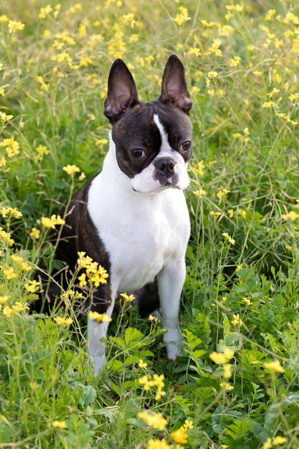 Porträtt av en söt Boston Terrier royaltyfria foton