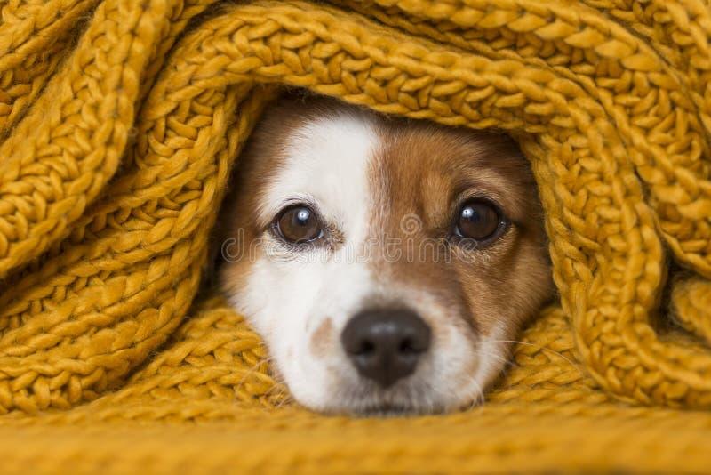 Porträtt av en söt liten hund som tittar pÃ¥ kameran med en gul scarf som täcker honom. Vit bakgrund. Kallt begrepp fotografering för bildbyråer