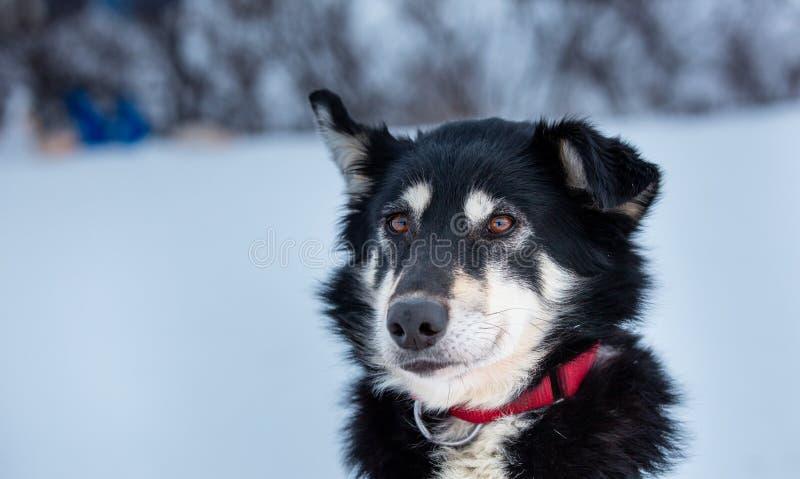 Porträtt av en svart och vit hund med gulfärgade ögon från gruppen med sled hundar Hunden bär ett rött halsband royaltyfria foton