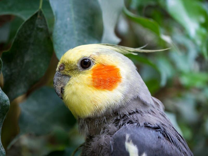 Porträtt av en vattenfärgscockatiel av papegoja arkivfoto