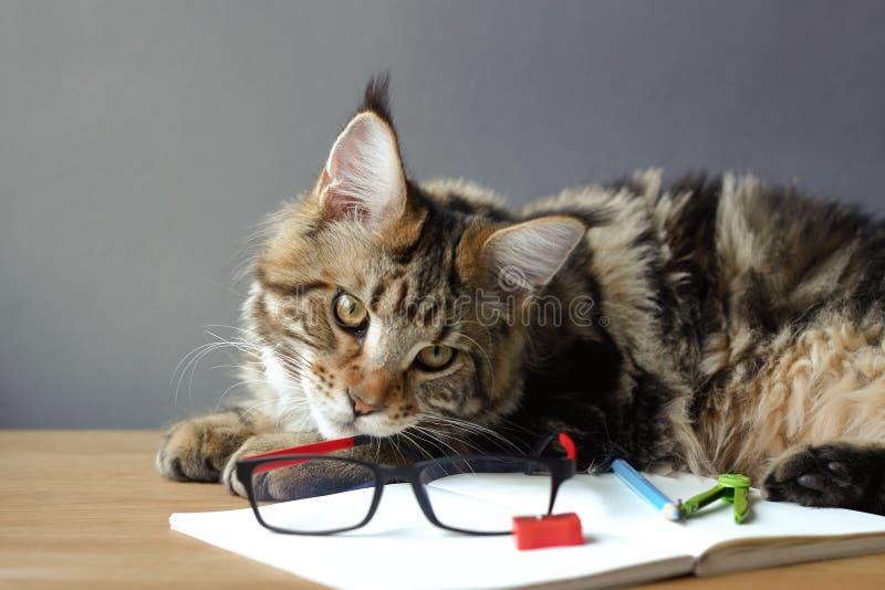 Porträtt av Maine Coon-katt ligger på ett träbord nära en öppen bärbar dator med en penna, en skärpa, kompass och ett utsee arkivbild