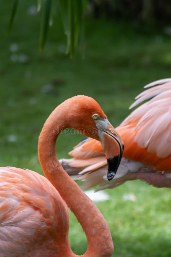 Porträtt från en colombiansk flamingo royaltyfria bilder